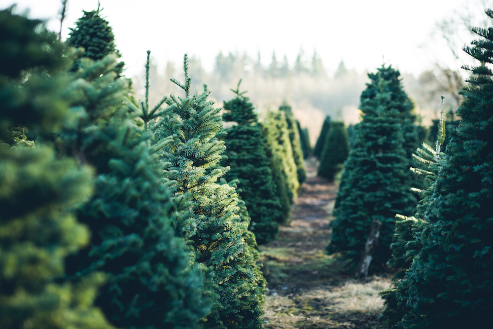 Cut Your Own Christmas Tree.Where To Cut Your Own Christmas Tree This Year Little Rock