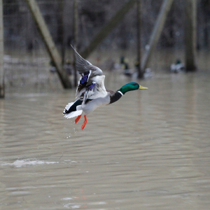 Overall Duck Numbers Consistent, Mallard Count Low