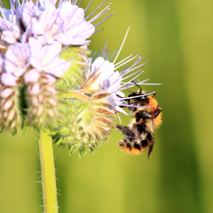 Bee Pollination Declining with Increased Use of Pesticide