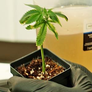 The Secret Life of Marijuana Plants