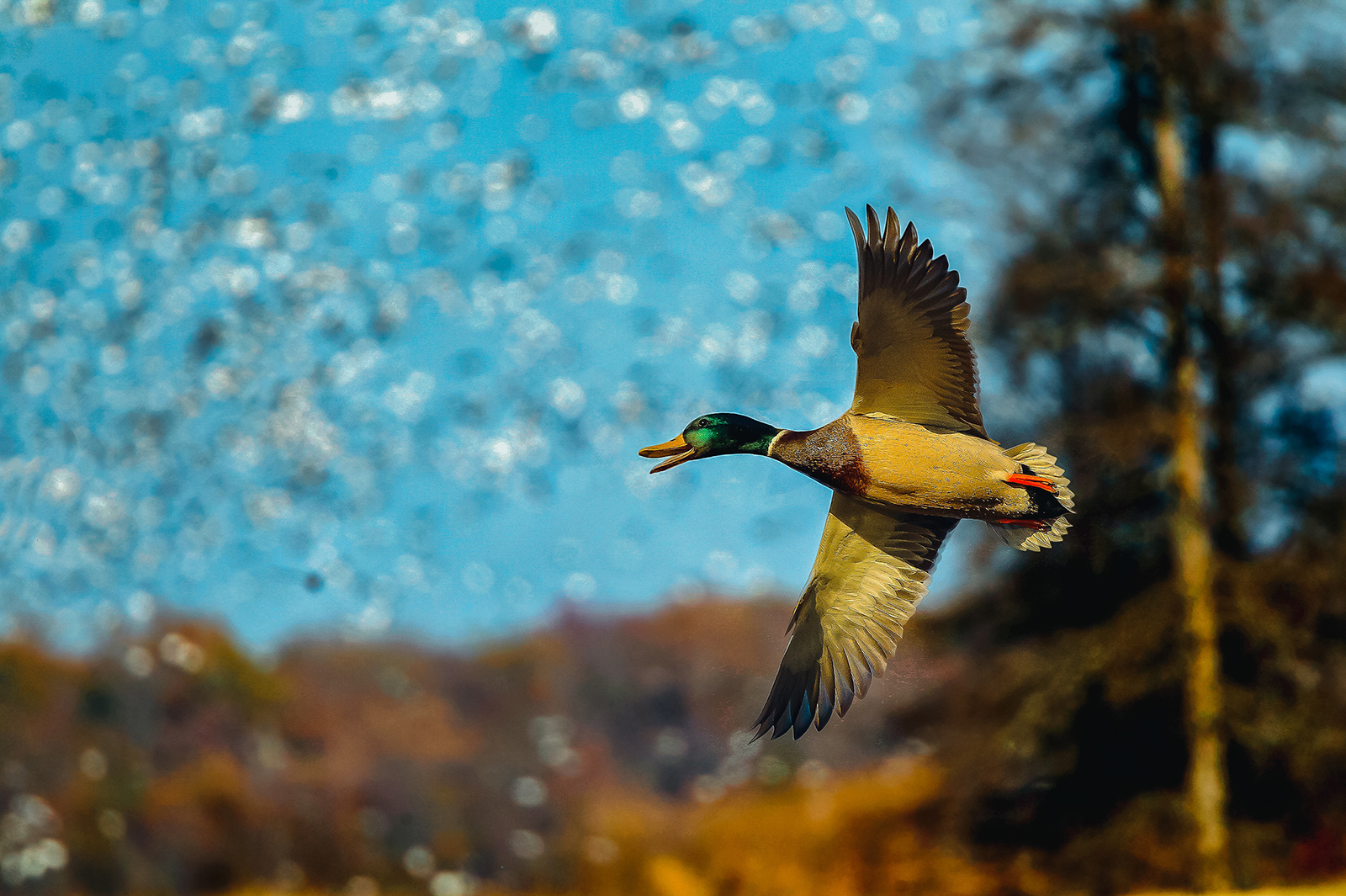 Mallard and Snow Geese