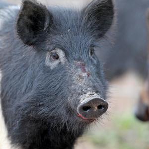 Arkansas' Feral Hogs No Laughing Matter