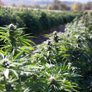 Legal Hemp, CBD Stir More Farmers to Grow Unfamiliar Crop