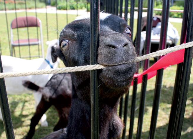 Heifer goat