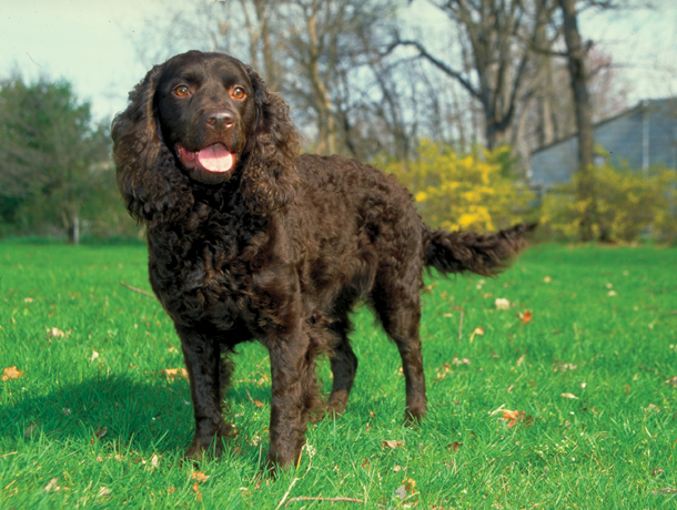 Best Retrieving Dog Breeds