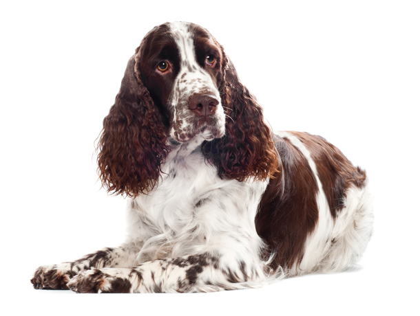 Best Hunting Dog Breed | Dog Breeds Picture