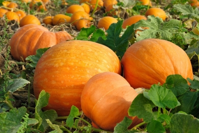 Your Guide to Local Pumpkin Patches