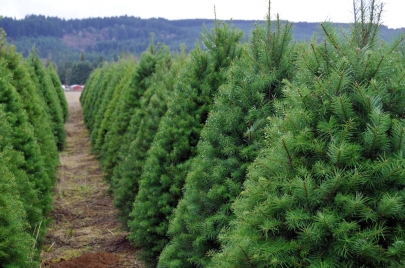 Where to Cut Your Own Christmas Tree This Year