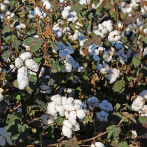 Arkansas' Planted Cotton Acreage Sinks to Record Low