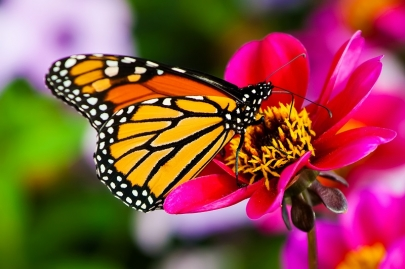 Be a Butterfly Hero: Take Part in Free National Wildlife Federation Program