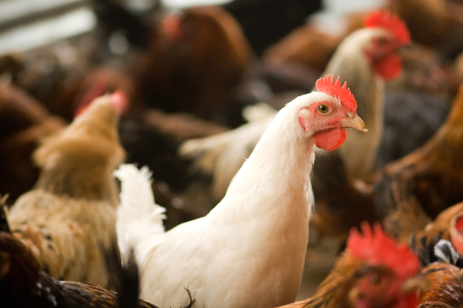 USDA Veterinarian: Bird Flu Outbreak Could Be 'Devastating'