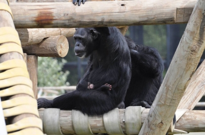 Help the Zoo Name a Baby Chimp