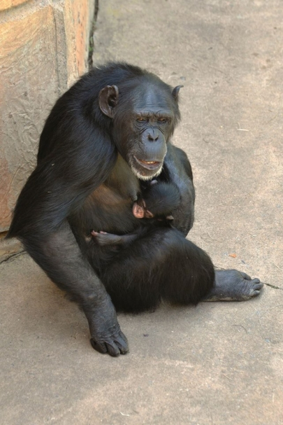 Little Rock Zoo Unveils Baby Chimp's Name