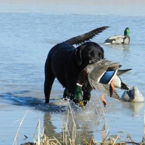 Arkansas Duck Season Off to a Sluggish Start