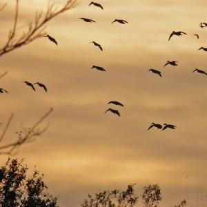 AGFC Sets the 2016-2017 Arkansas Duck Season Dates Two Months Early