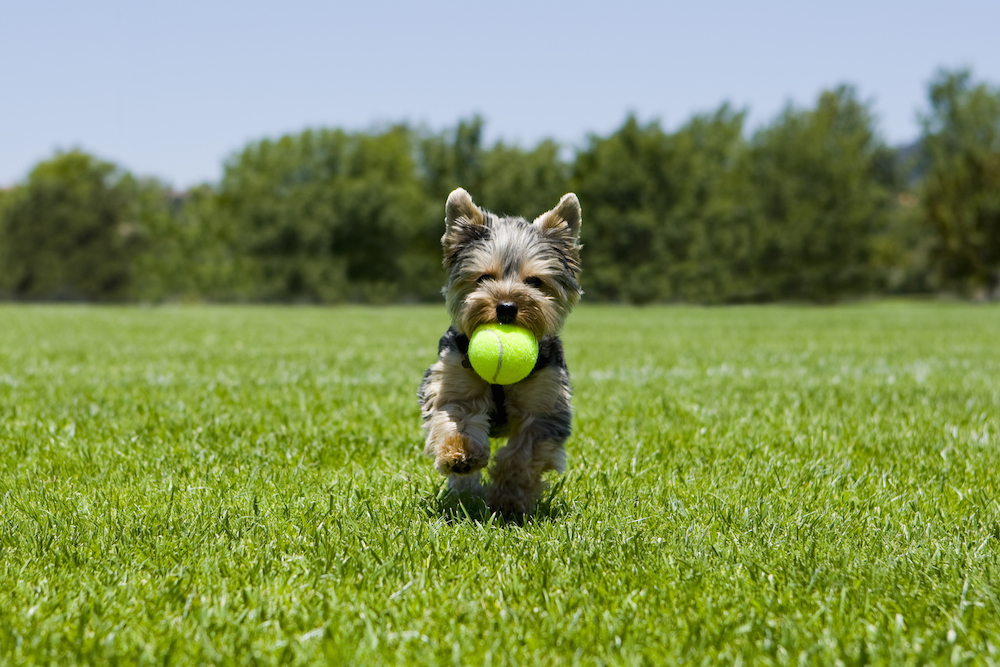 dog, puppy, tennis ball