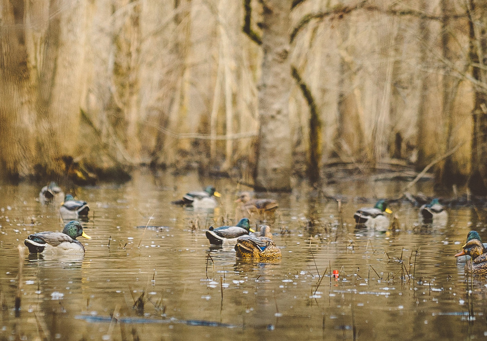 Greenhead 2016 Decoys