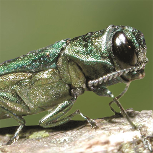 Invasive Beetle Found in Randolph County, Plant Board Says