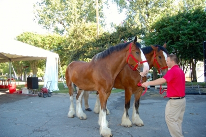 Visit World-Famous Clydesdales in Little Rock River Market