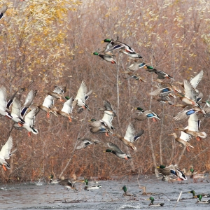 Arkansas Duck Season Opens November 19th With Unfavorable Conditions