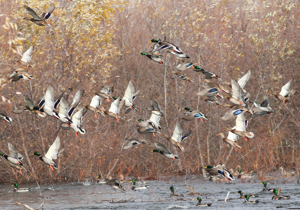 What to expect from game fish 39 s greentree plan greenhead for Arkansas game and fish license