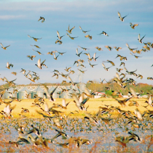 Rice Farmers, Waterfowl Hunters Partner to Conserve Wetlands