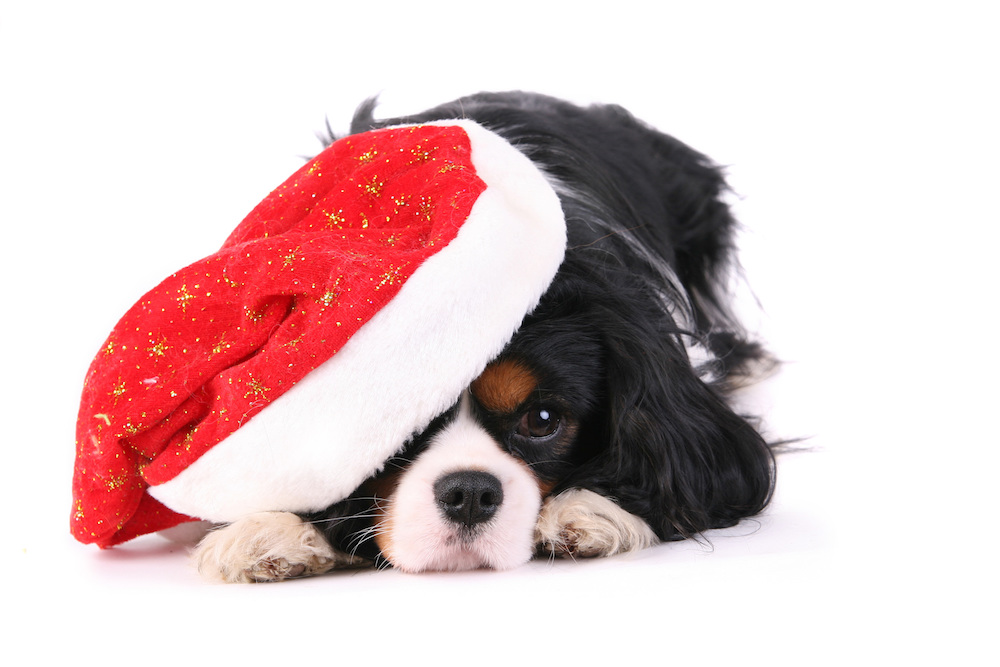 dog in santa claus hat, puppy, holidays, christmas