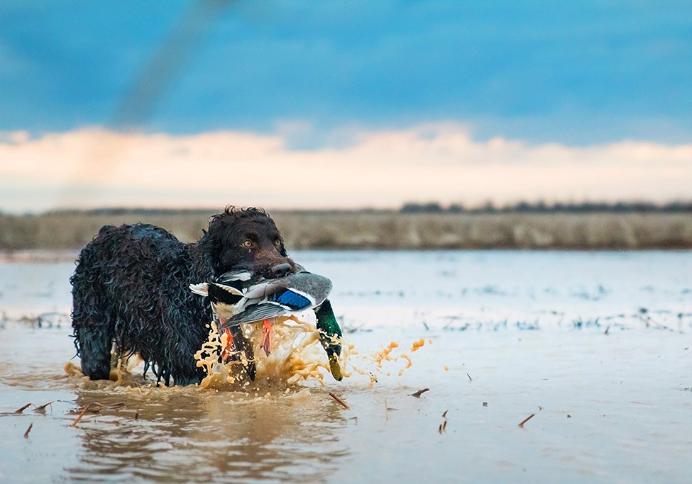Duck Dogs, Breeds Apart